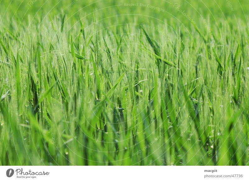 Getreidefeld grün Feld Getreide Halm Korn Ähren