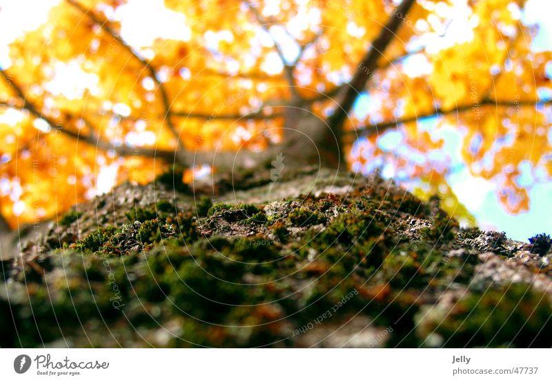 käferperspektive Natur Himmel Baum grün gelb Herbst braun Baumrinde