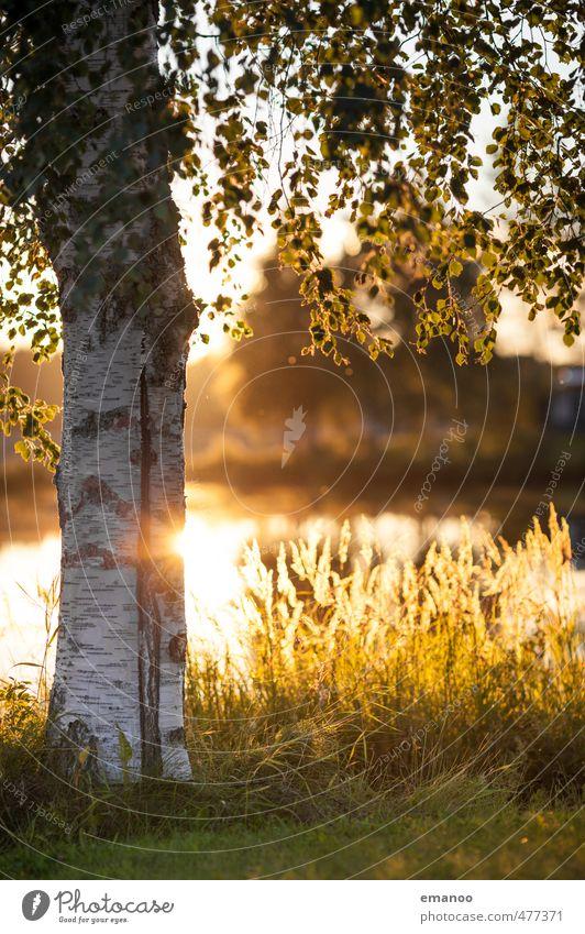 Schwedenbirke Ferien & Urlaub & Reisen Tourismus Natur Landschaft Pflanze Wasser Sonne Sommer Wärme Baum Gras Blatt Feld Seeufer Bucht gelb gold Birke Baumrinde
