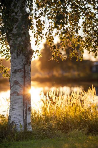 Schwedenbirke Natur Ferien & Urlaub & Reisen Wasser weiß Pflanze Sommer Sonne Baum Landschaft Blatt gelb Wärme Gras See Feld gold