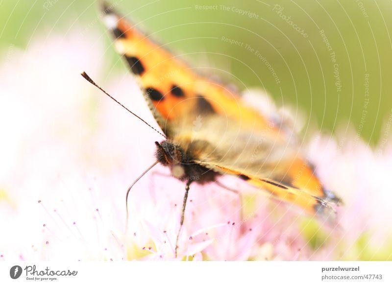 Fliegende Zärtlichkeit Schmetterling Sommer Makroaufnahme canon eos 20d