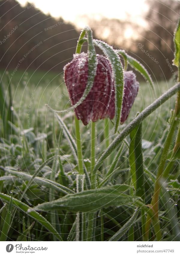 frühlingserwachen Blume Wiese Gras Frühling Frost Tau Eiskristall Schachbrettblume