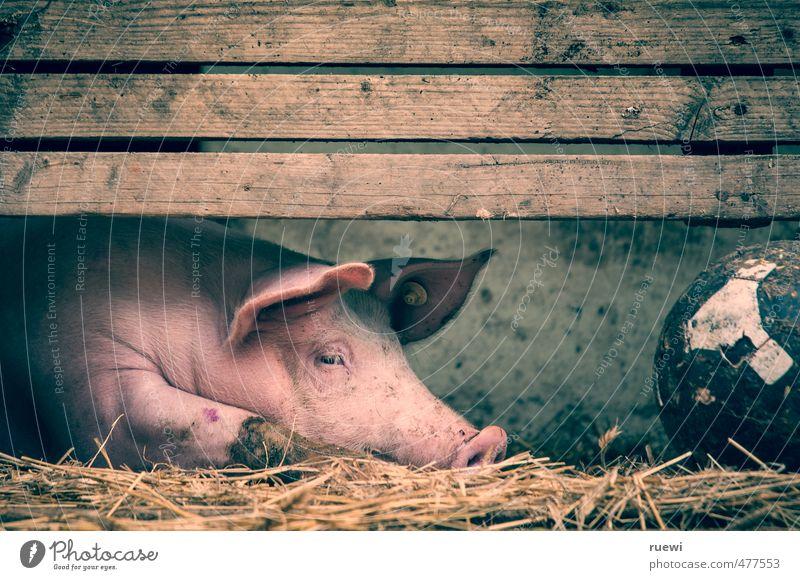 No sports, I'm piggish Ferien & Urlaub & Reisen Einsamkeit Tier Sport Bewegung liegen rosa Lebensmittel Tourismus einzeln Ernährung schlafen Fitness Fußball