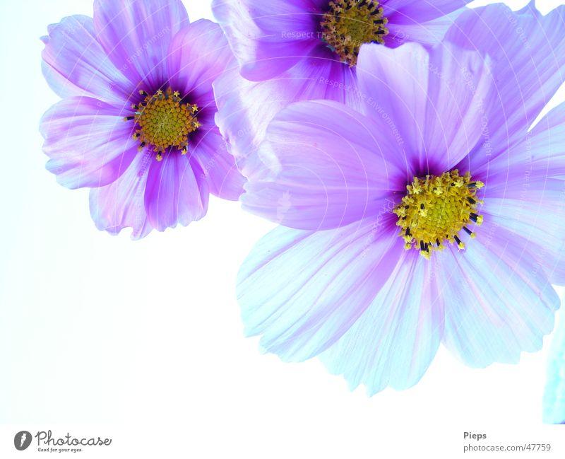 Wenn Wünsche in Erfüllung gehen Natur Blume Pflanze Sommer Blüte Frühling Garten 3 Fröhlichkeit violett Vergänglichkeit Blühend harmonisch Schmuckkörbchen