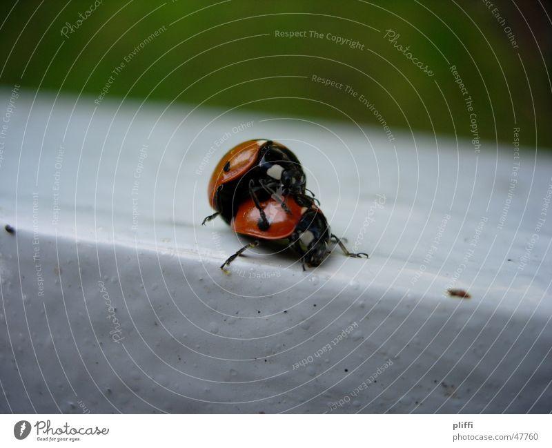 Marienkäferliebe Tier Kuscheln Natur Käfer