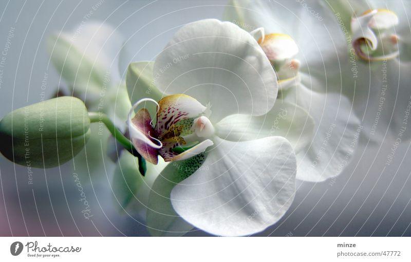 orchi weiß Blume Frühling Romantik Blühend Blütenknospen Orchidee