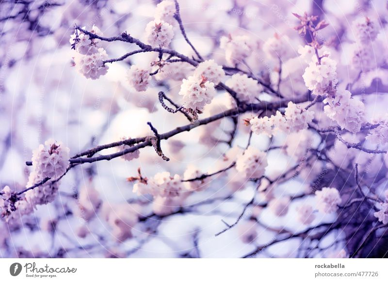 Kirschblüten Natur Pflanze Frühling Blüte Blühend Duft