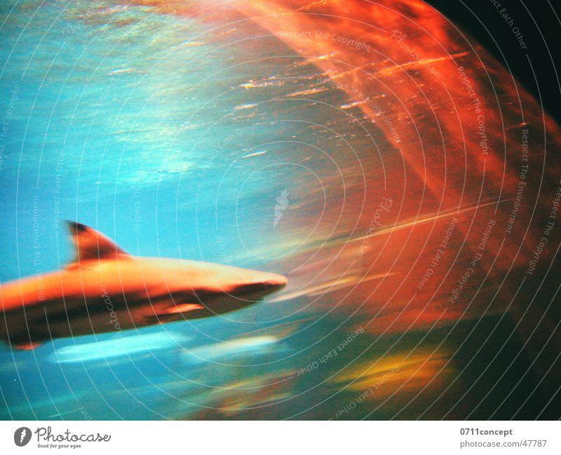 HAI-Lights Haifisch Dieb Fressen gefährlich Meer Licht Fleischfresser weiß tauchen Angriff Geschwindigkeit Unschärfe bedrohlich Angst Schwimmhilfe Wasser