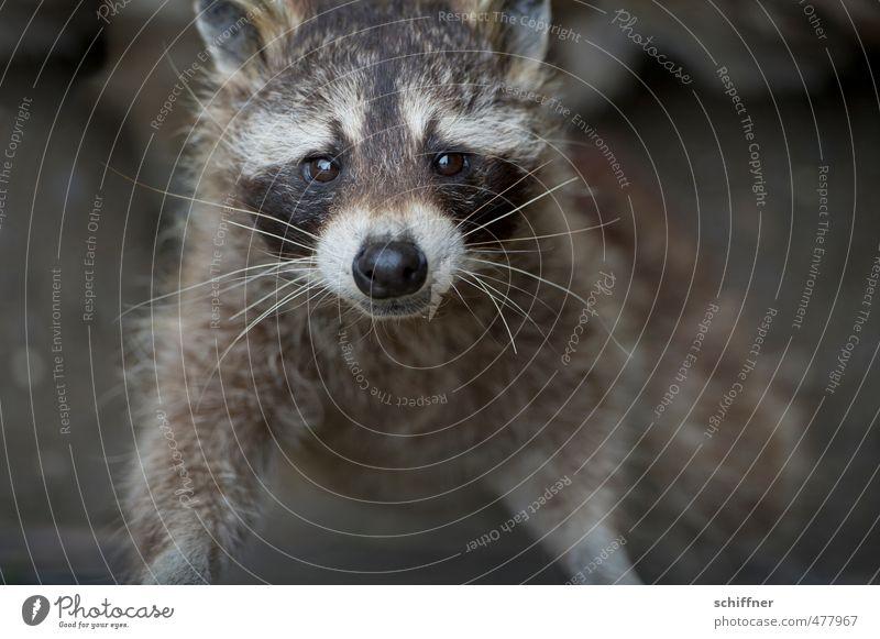 schwarzweißgrau | ... und ein bisschen braun Tier Wildtier Tiergesicht Fell 1 dreckig Waschbär schön niedlich grinsen drollig Fellfarbe Haare & Frisuren