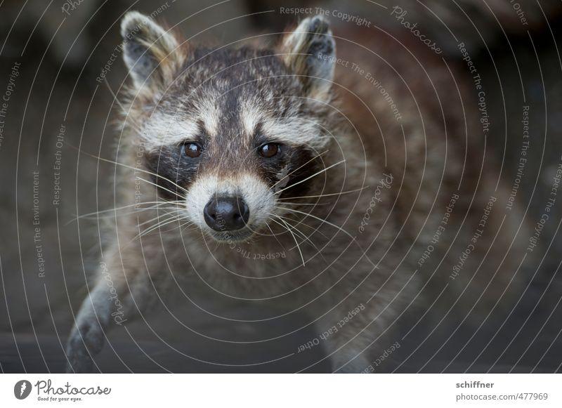 Waschen? Ich bin doch sauber! Tier Wildtier Tiergesicht Fell Pfote 1 Blick Freundlichkeit grau schwarz weiß betteln grinsen Knopfauge Waschbär drollig schön