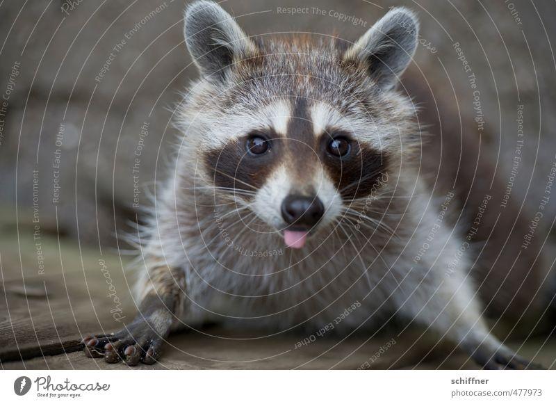 Bäh - Waschen ist was für Weicheier! Tier Wildtier Tiergesicht Fell Krallen Pfote 1 frech stachelig grau schwarz weiß drollig niedlich schön Knopfauge Zunge