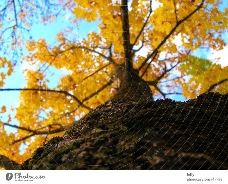 dem himmel entgegen Natur Himmel Baum Blatt Wolken gelb braun Ast Baumrinde blau-weiß