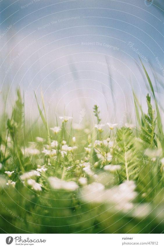 Frühlingsgefühle Wiese Blume weiß grün Sommer Blüte springen Himmel Rasen blau meadow flowers white blue sky bloom blossom