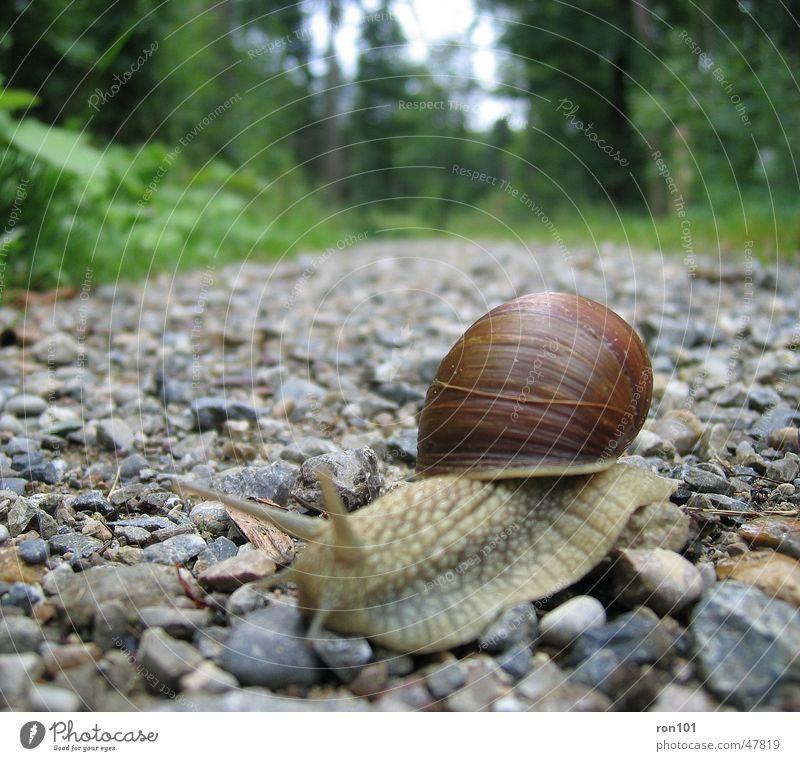 SNAIL langsam Zeit Schneckenhaus Fühler Kieselsteine Wald krabbeln Schleim Blatt Baum grau braun snail Wege & Pfade Stein Auge Himmel gün