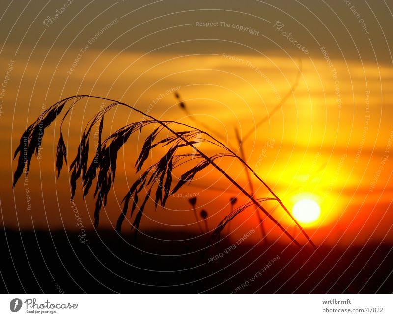 Gras vor der Sonne Sonnenuntergang rot gelb grau Halm schwarz Farbübergang Wolken Sonnenstrahlen Pflanze Stengel Gegenlicht Farbverlauf Himmel Abend orange