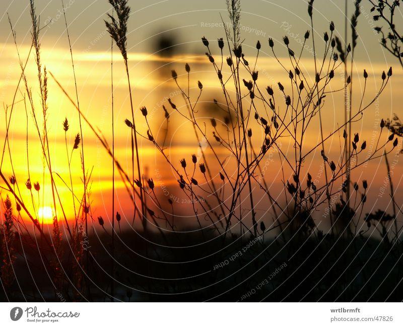 Die letzten Sonnenstrahlen Gras Halm Pflanze Sonnenuntergang Wolken rot gelb grau schwarz Wiese Herbst Stengel Gegenlicht Farbverlauf Farbübergang Zweig Himmel