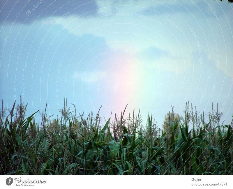 Regenbogen am Abend RGB Himmel Feld mehrfarbig Wolken Lichtspiel Farbenspiel böse schön Trauer Naturphänomene Außenaufnahme rainbow sky color gut und böse Mais