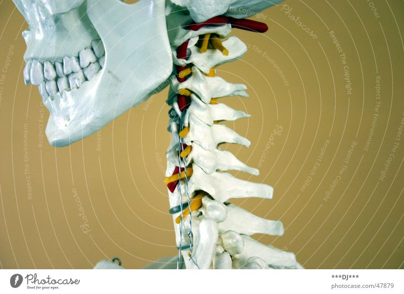 Grinsebacke Skelett Gesundheitswesen Konstruktion Kopf Hals grinsen Sehne Muskulatur Schädel Tod Zähne