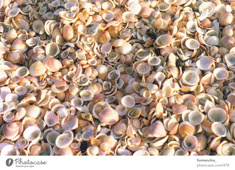 Muscheln Strand Muschel