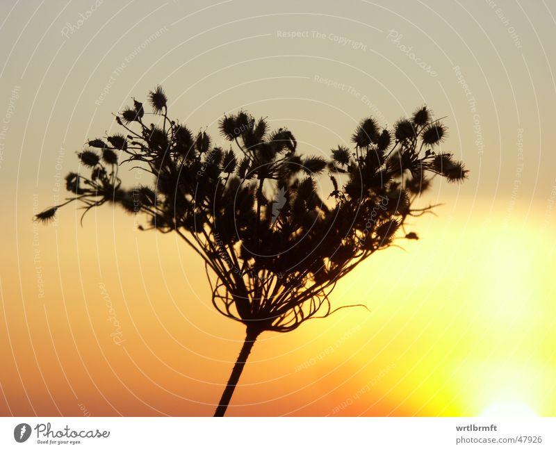 Im letzten Licht Natur Himmel Sonne Pflanze rot schwarz Wolken gelb Herbst Wiese Gras grau orange Stengel Halm Samen