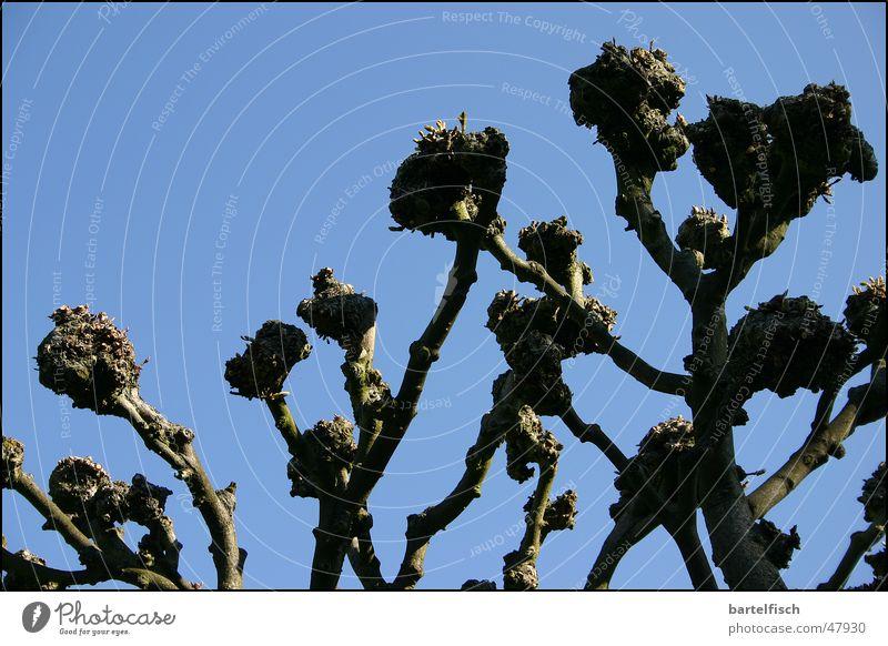 Die Fäuste der Kastanie Faust Frühling beschnitten Baum Kastanienbaum Himmel blau Ast keine blätter