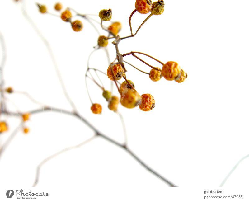 verdorrte beeren alt Pflanze Winter Herbst Tod Garten Traurigkeit Park orange trist Wandel & Veränderung Sträucher Trauer Vergänglichkeit Ende trocken