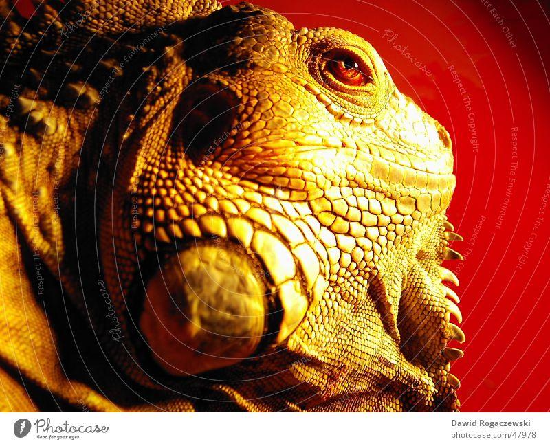 Tyraosaurus Iguanus rot Drache Echsen Dinosaurier Leguane Urzeit Grüner Leguan