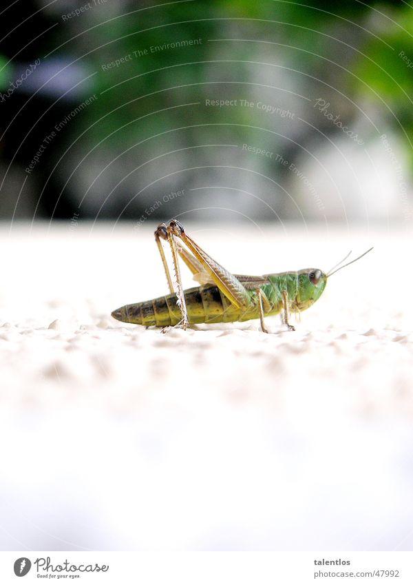 grasshopper grün weiß Insekt springen Tier Gras Heuschrecke Makroaufnahme