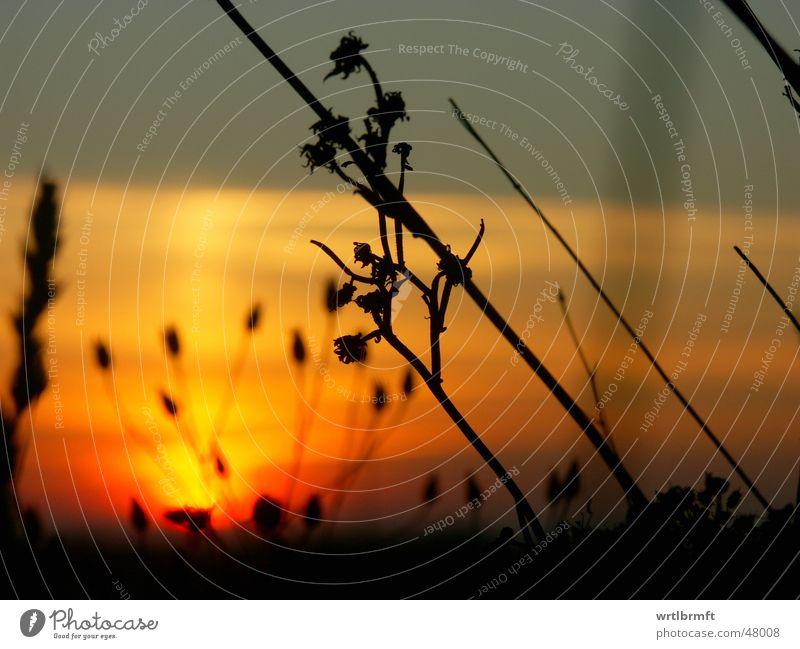 Halme in den letzen Sonnenstrahlen Gras Sonnenuntergang rot gelb grau schwarz Pflanze Wolken Wiese Herbst Oktober Unschärfe Stengel Gegenlicht Farbverlauf
