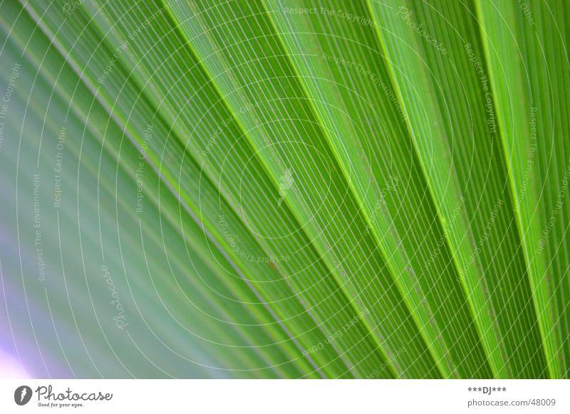 Palmwedel Palme Pflanze grün Natur Wachstum Blatt grow exotisch exotic