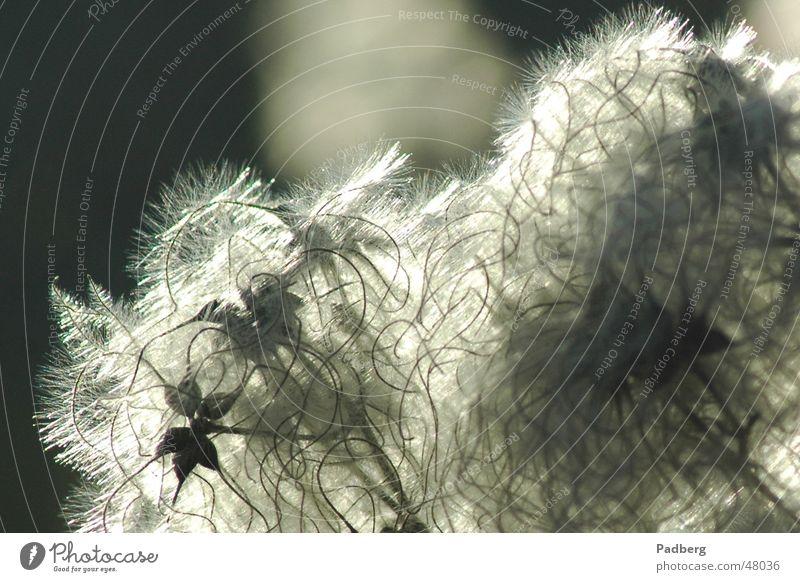 Winterflaum Natur Pflanze Samen filigran