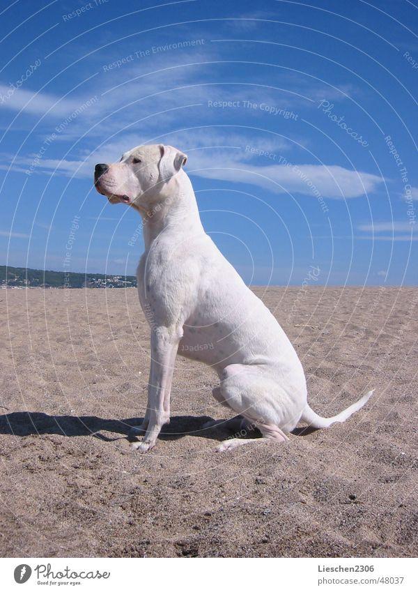 Odin - Dogo Argentino Rüde Tier Haustier Hund sitzen weiß Jagdhund Jäger Dogge Argentinien Rassehund weißer hund dog pet gun dog hunting dog working dog dogs