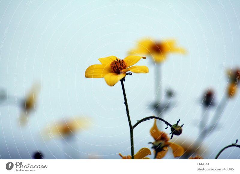 noch ein wenig Sommer Blume gelb Stimmung Vor hellem Hintergrund