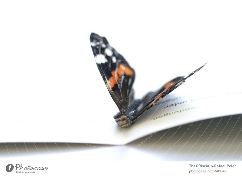Papillon weiß Tod orange Schmetterling Insekt