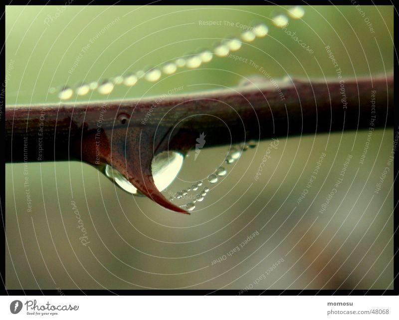 Tränendorne Herbst Nebel Wassertropfen Seil Sträucher Ast Zweig Dorn Spinnennetz
