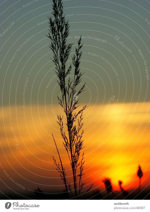 Der Letzte Grashalm Halm Pflanze Sonnenuntergang Wolken rot gelb grau schwarz Wiese Herbst Oktober Stengel Gegenlicht Farbübergang Farbverlauf Zweig Himmel