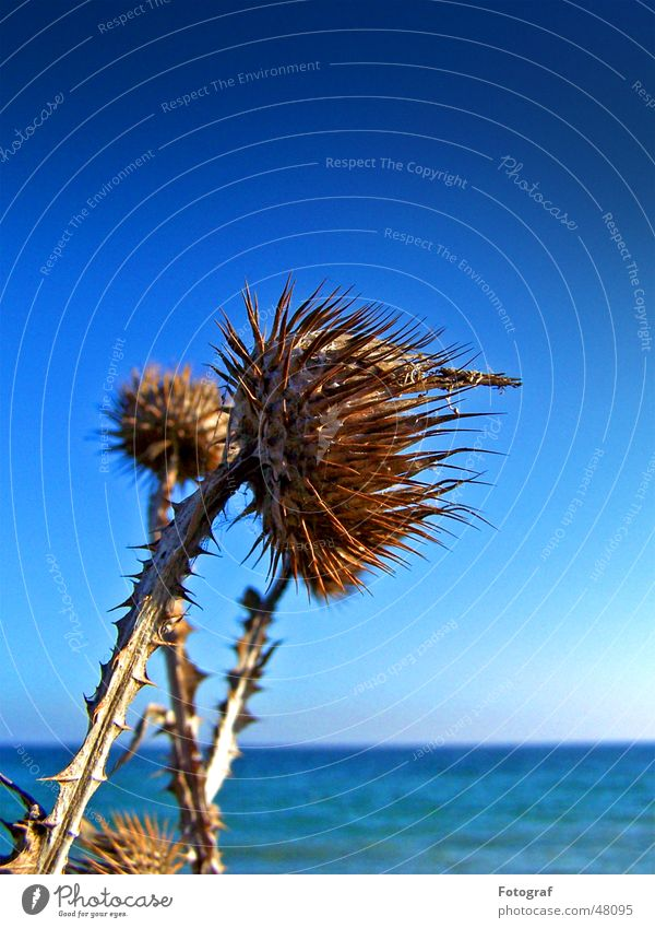 Stranddistel Himmel Meer blau Pflanze See Ostsee Stachel stechen Distel