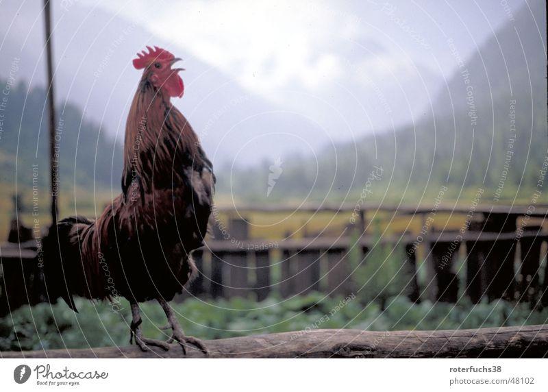 Morning Glory krähender Hahn Berge u. Gebirge Feder China Zaun Haushuhn Tal Nationalpark Chinesisch Hahn Federvieh Vogel Morgen wecken Vogelgrippe Sichuan Juizhaigou
