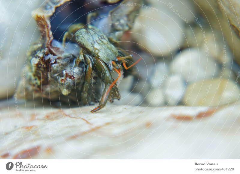 Einsiedler Küste Muschel Krebstier 1 Tier nass blau braun grau rot schwarz weiß Meerwasser Einsiedlerkrebs Strand Kieselsteine Kieselstrand krabbeln Auge Fühler