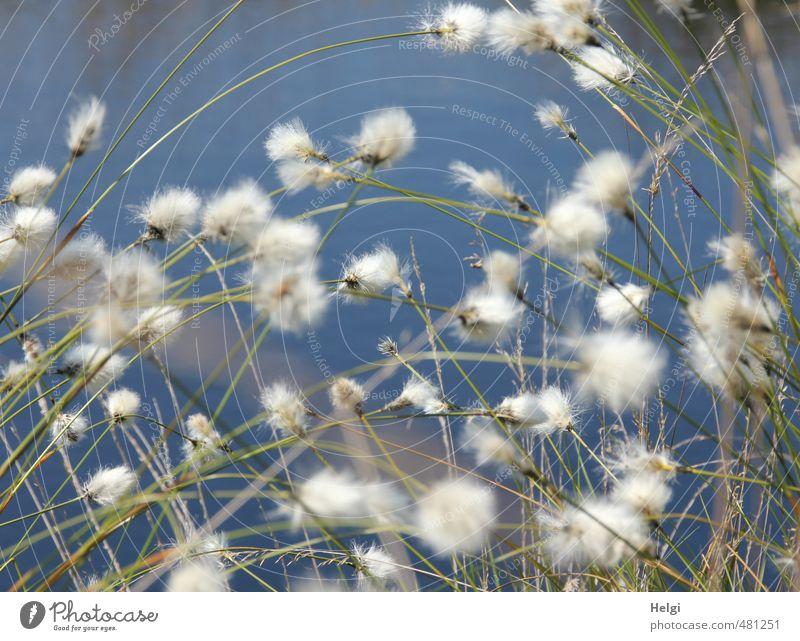 Wollgras-Wirrwarr... Umwelt Natur Pflanze Wasser Frühling Schönes Wetter Gras Blüte Wildpflanze Moor Sumpf Blühend Wachstum authentisch natürlich blau braun