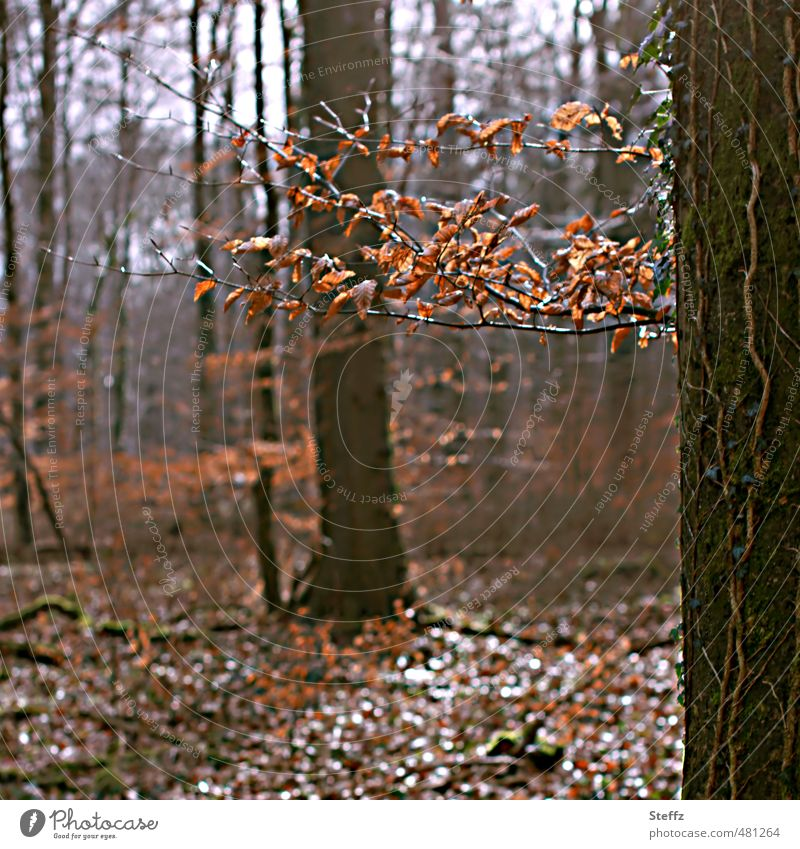 Herbstwald Umwelt Natur Landschaft Pflanze Baum Blatt Herbstlaub Wald Waldrand Waldboden Laubwald natürlich Waldstimmung Lichtstimmung Novemberstimmung
