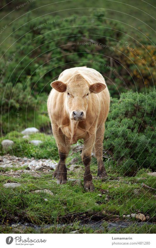 Tier | staring contest schön Landschaft Umwelt Gesundheit natürlich wild frei warten stehen Sträucher beobachten einzigartig nah Wachsamkeit Kuh