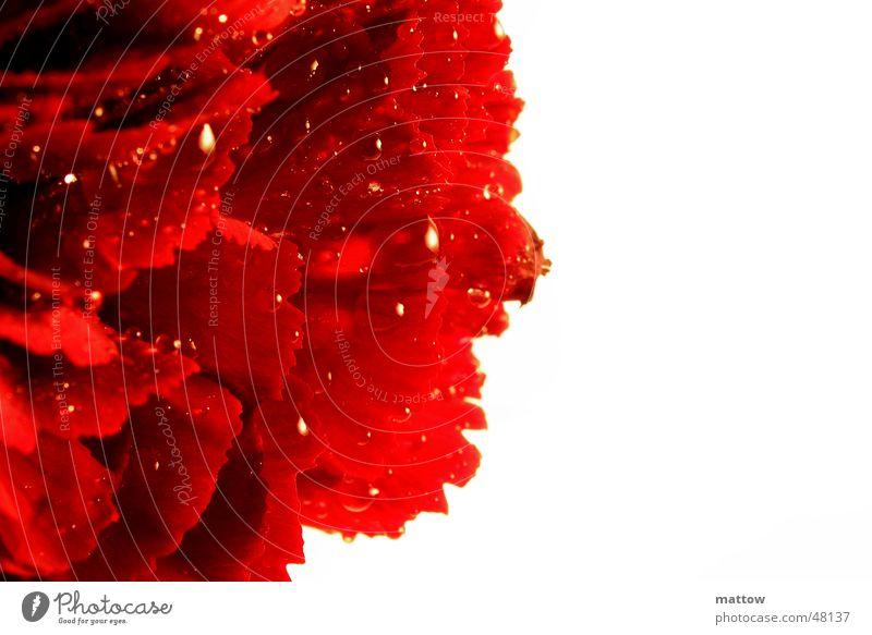 Rosentau Natur Wasser weiß Blume Pflanze rot Hintergrundbild Wassertropfen