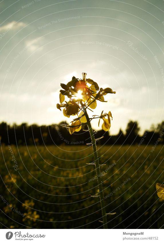 Feldblume Blume Sonnenuntergang Wiesenblume