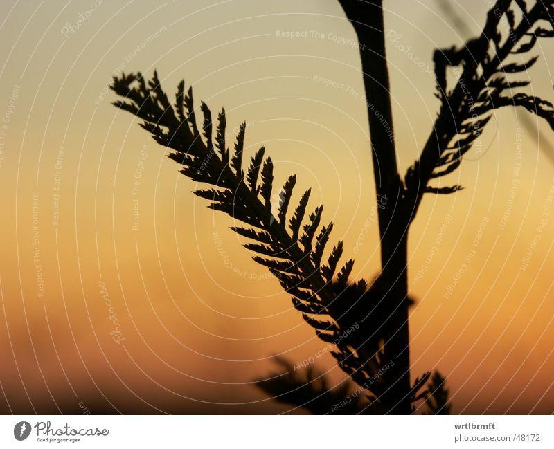 Im letzten Licht Gras Halm Pflanze Sonnenuntergang Wolken rot schwarz grau Herbst Oktober Blatt Farbübergang Gegenlicht Stengel Zweig Himmel orange Natur