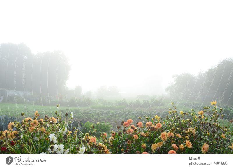 Blumen im Nebel Garten Herbst Wetter schlechtes Wetter Blüte Blühend kalt nass trist Stimmung Endzeitstimmung Blumenbeet Dahlien Schrebergarten Beet