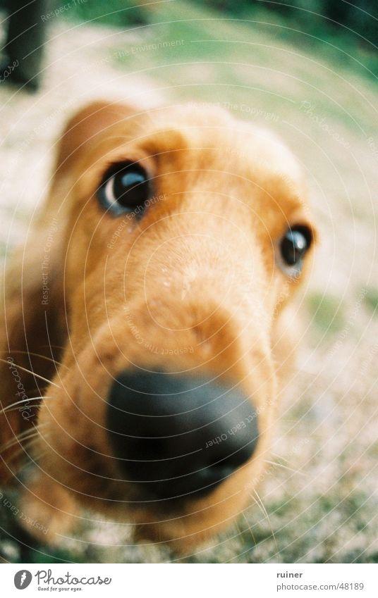 Hundeblick Auge Hund Nase groß Geruch Interesse Schnauze Treue Kopf Hundeblick