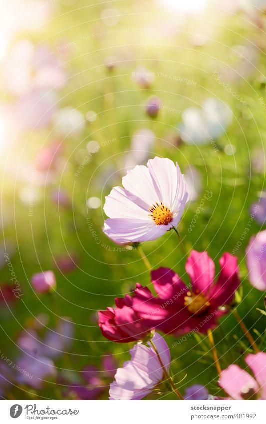 Sommer Blume natürlich Garten rosa Blühend Schmuckkörbchen Blumenbeet