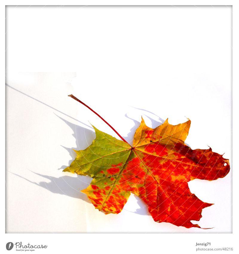 Leuchtender Herbst Blatt Ahorn Ahornblatt Baum Laubbaum
