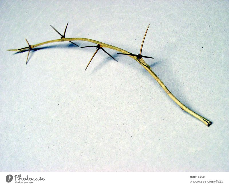 dornen pflastern seinen weg Natur Dinge Verzweiflung Zweig stachelig Dorn